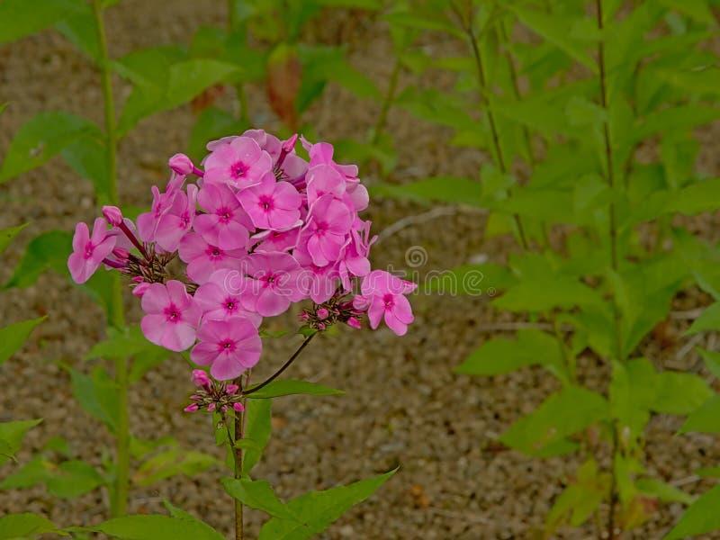 Flores cor-de-rosa brilhantes do flox no jardim foto de stock