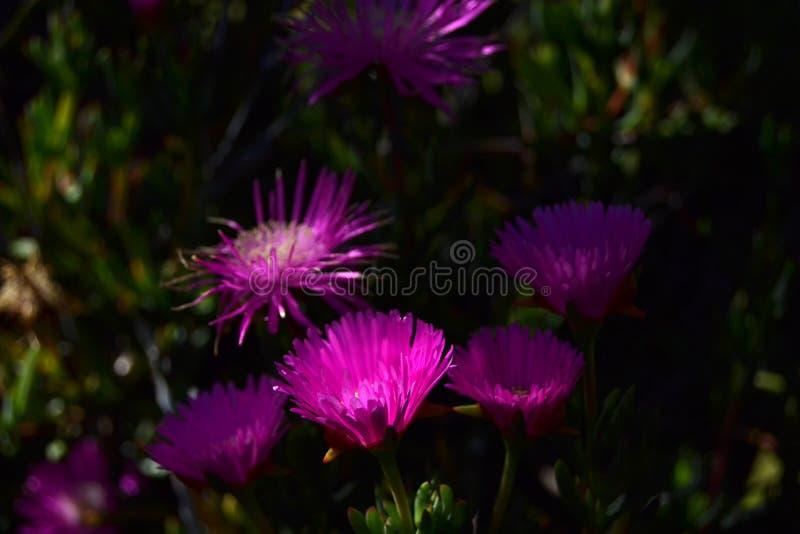Flores cor-de-rosa brilhantes na noite foto de stock royalty free