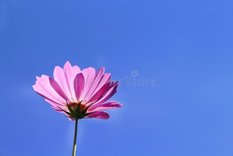 Flores cor-de-rosa coloridas do cosmos que florescem com reflexão do sol no fundo vívido do céu azul fotos de stock