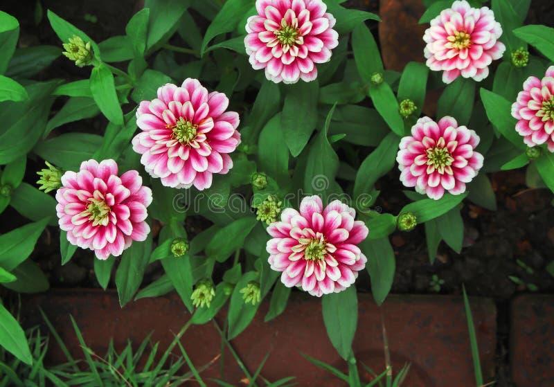Flores cor-de-rosa coloridas doces da vista superior que florescem no fundo da natureza do jardim foto de stock