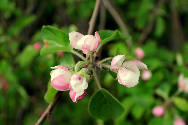 Flores cor-de-rosa da árvore de Apple no jardim em um fundo das folhas verdes em um dia ensolarado imagem de stock royalty free