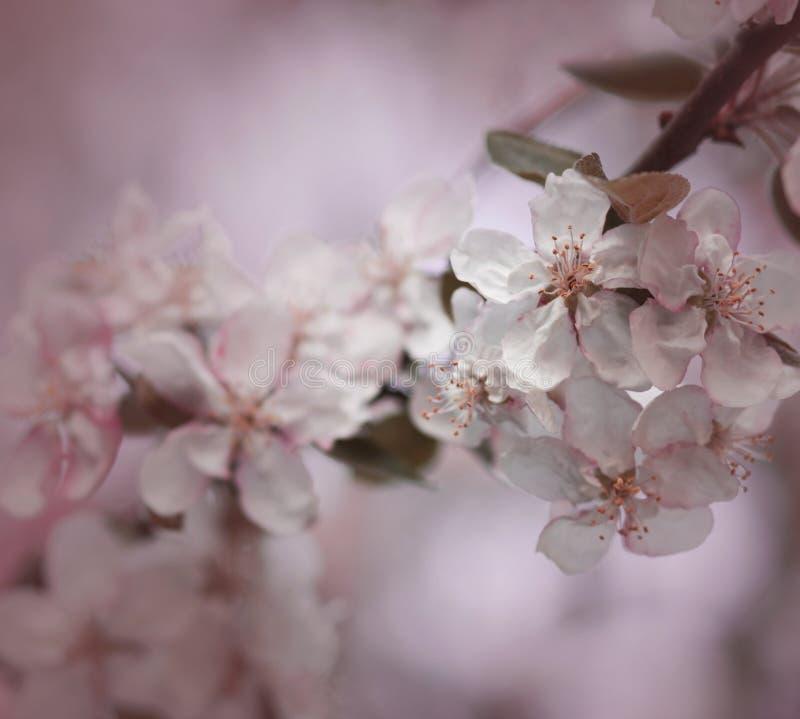 Flores cor-de-rosa da árvore de maçã foto de stock royalty free