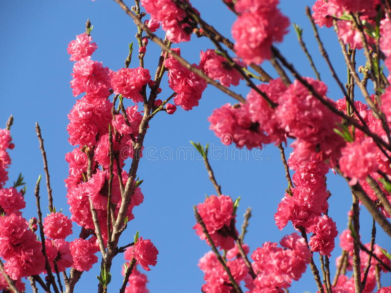Flores cor-de-rosa da árvore de pêssego fotos de stock