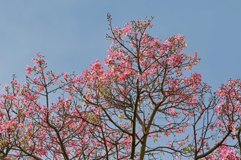 Flores cor-de-rosa da árvore de seda de Floss contra o céu azul durante o outono fotos de stock