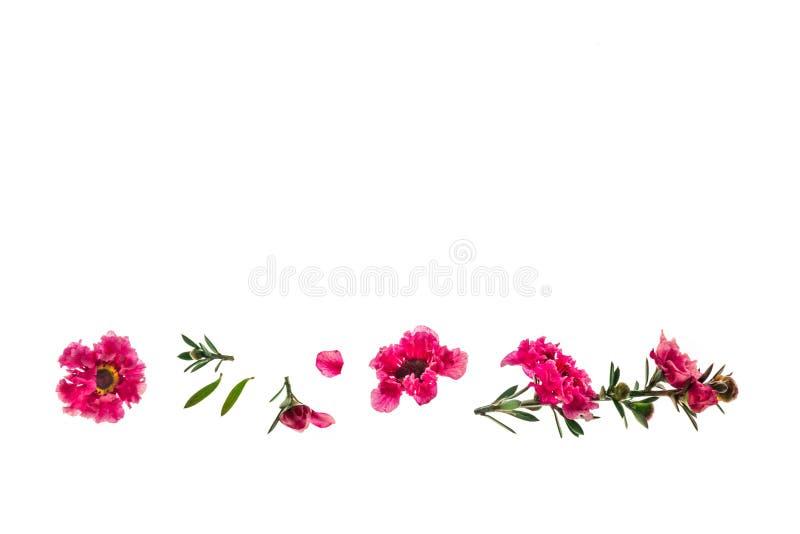 Flores cor-de-rosa da árvore do manuka isoladas no fundo branco com espaço da cópia imagens de stock