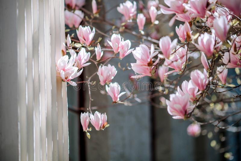 Flores cor-de-rosa da árvore da flor da magnólia, fim acima do ramo, exterior fotos de stock royalty free