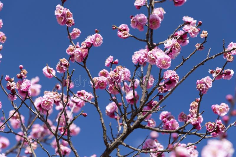 Flores cor-de-rosa da árvore ou do Ume de Cherry Plum no japonês, flor de japão, conceito da beleza, conceito japonês dos termas imagens de stock