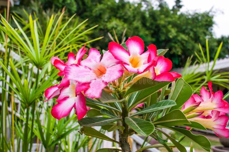 Flores cor-de-rosa da azálea no jardim foto de stock royalty free