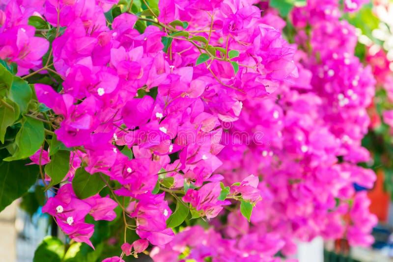 Flores cor-de-rosa da buganvília que florescem nos jardins foto de stock royalty free
