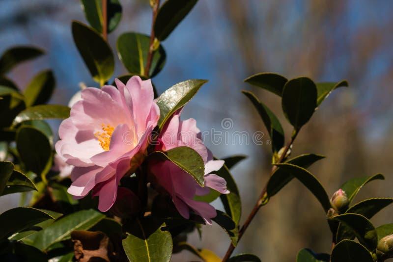 Flores cor-de-rosa da camélia fotografia de stock