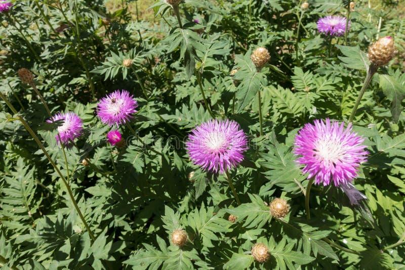 Flores cor-de-rosa da centáurea da lavagem política no jardim foto de stock royalty free