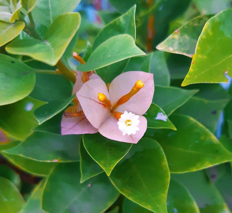 Flores cor-de-rosa da folha com folhas verdes fotografia de stock royalty free
