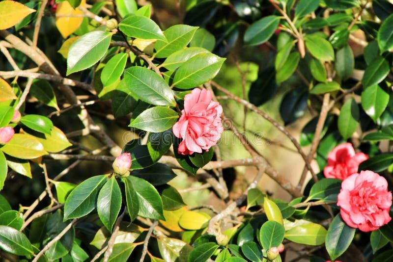 Flores cor-de-rosa da gardênia no jardim foto de stock
