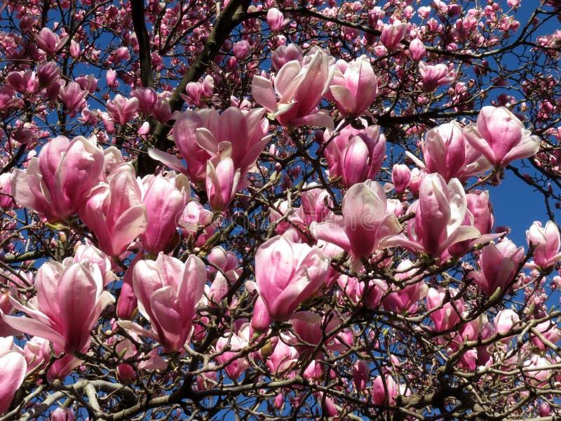 Flores cor-de-rosa da magnólia ao fim de março fotografia de stock royalty free