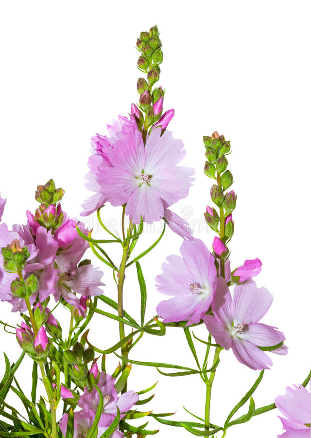 Flores cor-de-rosa da malva de pradaria fotografia de stock royalty free