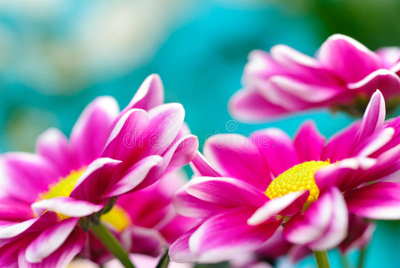 Flores cor-de-rosa da margarida fotografia de stock