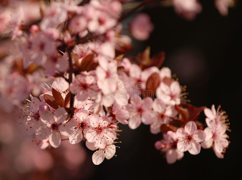 Flores cor-de-rosa da mola fotos de stock
