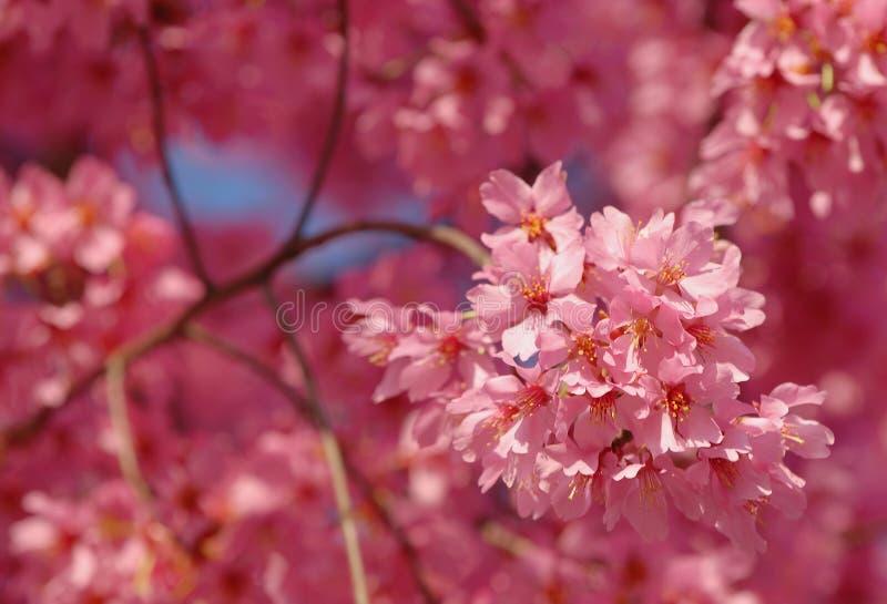 Flores cor-de-rosa da mola fotografia de stock royalty free