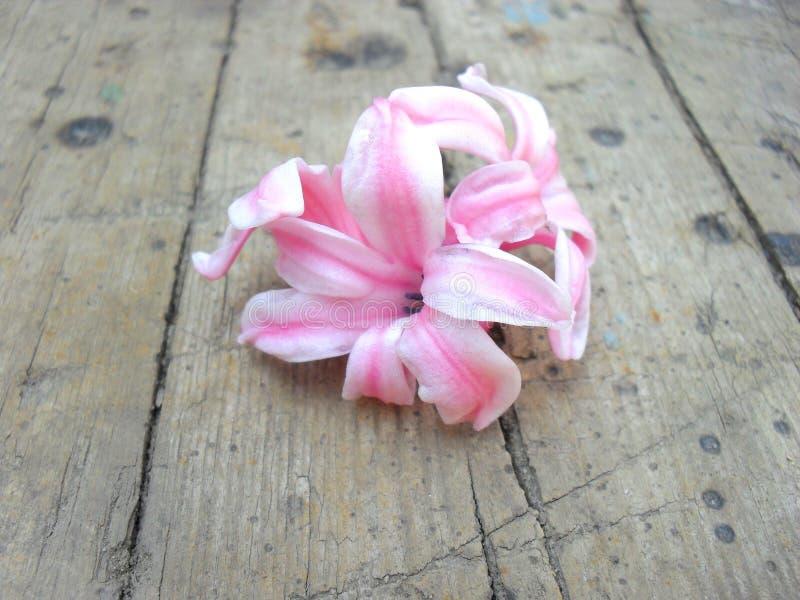 Flores cor-de-rosa da mola do jacinto no fundo de madeira imagens de stock royalty free