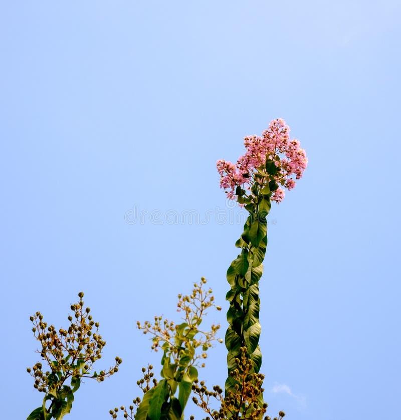 Flores cor-de-rosa da murta de crepe e céu azul imagens de stock