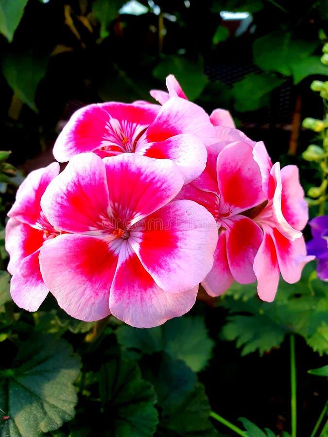 Flores cor-de-rosa da cor no jardim botânico foto de stock