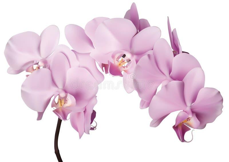 Flores cor-de-rosa da orquídea ilustração stock