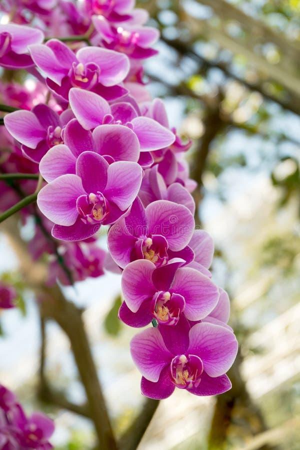 Flores cor-de-rosa da orquídea no jardim decorativo Luz brilhante do dia florescência natural bonita floral em horas de verão da  imagens de stock
