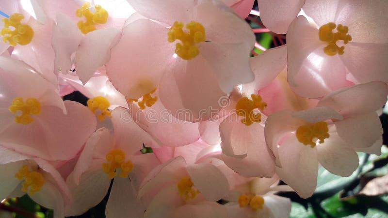 Flores cor-de-rosa das begônias fotos de stock royalty free