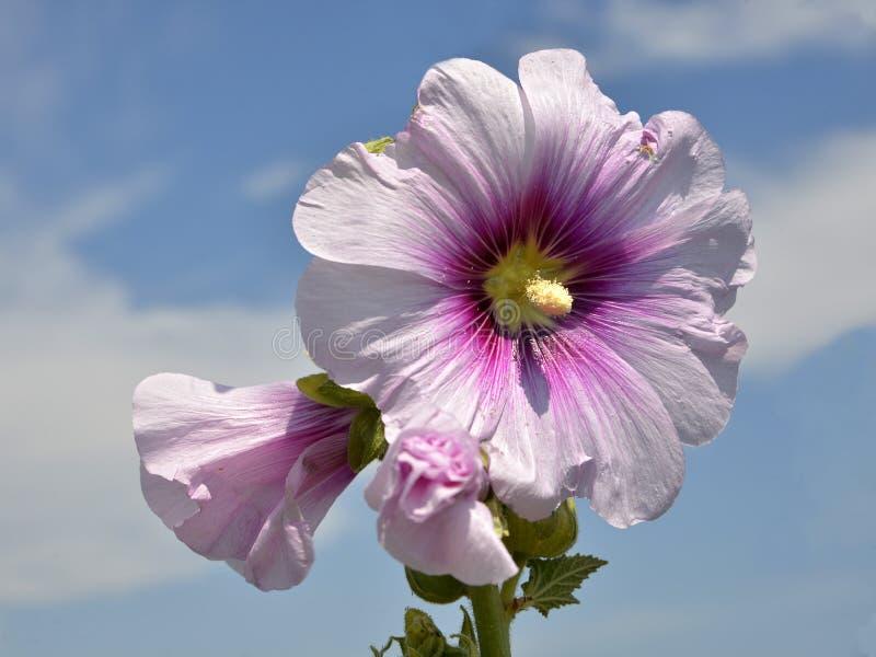 Flores cor-de-rosa das malvas rosas do close up foto de stock royalty free