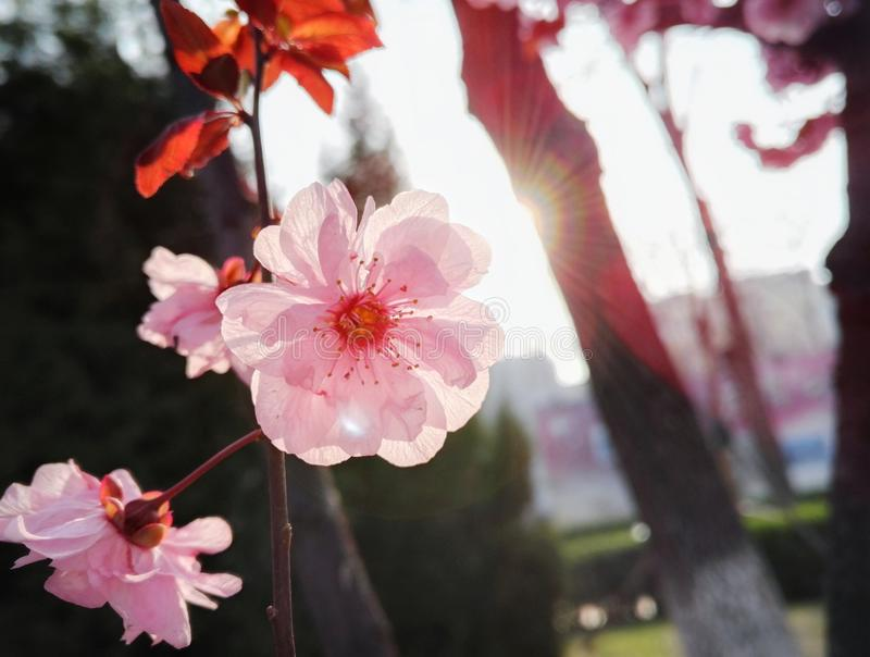 Flores cor-de-rosa das flores na mola imagem de stock royalty free