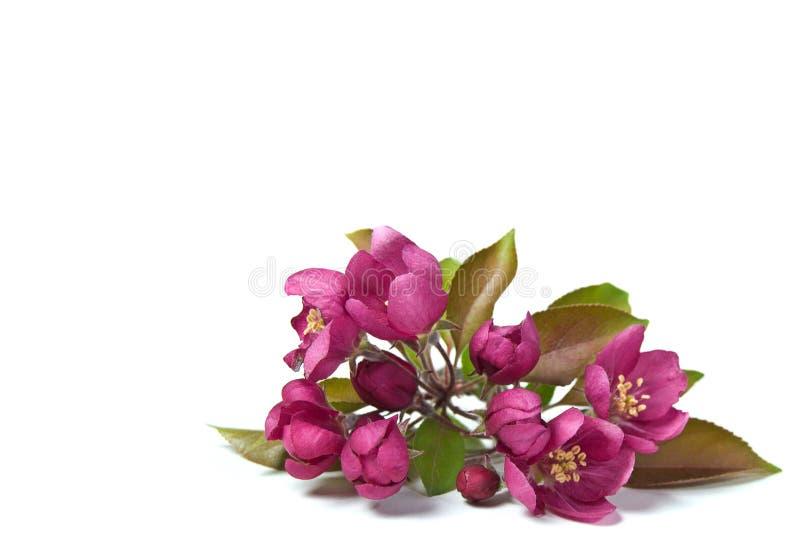 Flores cor-de-rosa de Crabapple imagem de stock