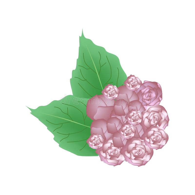 Flores cor-de-rosa de Glory Bower Flowers ou de Clerodendrum Chinense ilustração royalty free