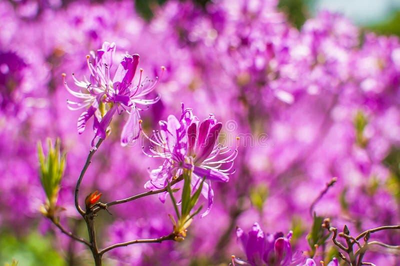 Flores cor-de-rosa de um rododendro imagem de stock