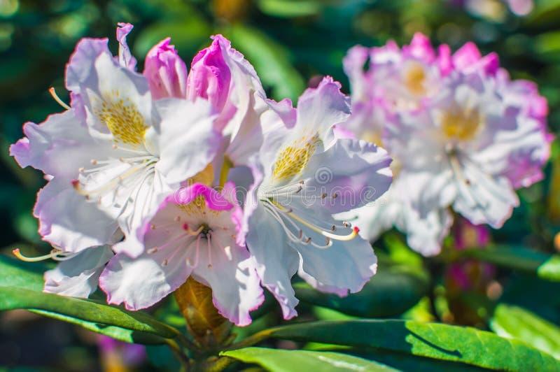 Flores cor-de-rosa de um rododendro fotografia de stock