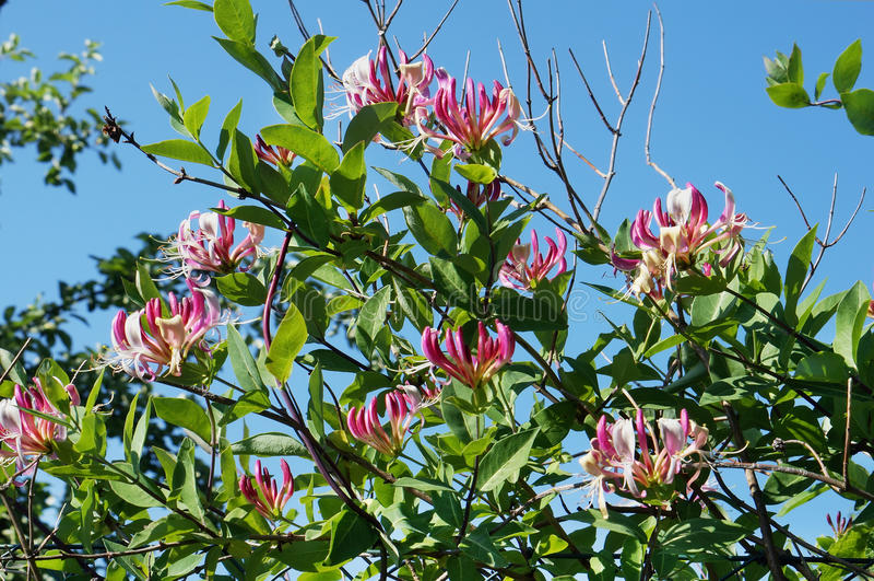 Flores cor-de-rosa de uma madressilva fotos de stock