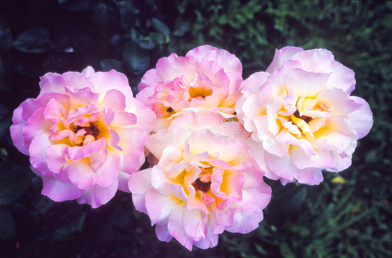 Flores cor-de-rosa delicadas imagem de stock