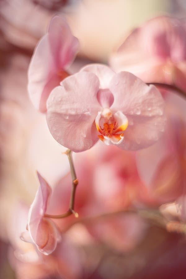 Flores cor-de-rosa delicadas Orqu?deas no jardim foto de stock
