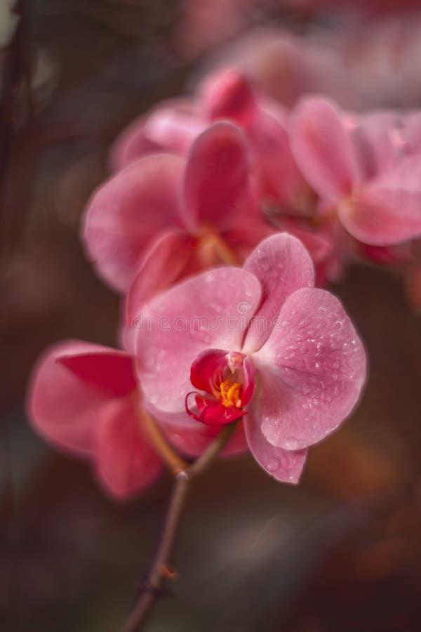 Flores cor-de-rosa delicadas Orqu?deas no jardim fotografia de stock royalty free