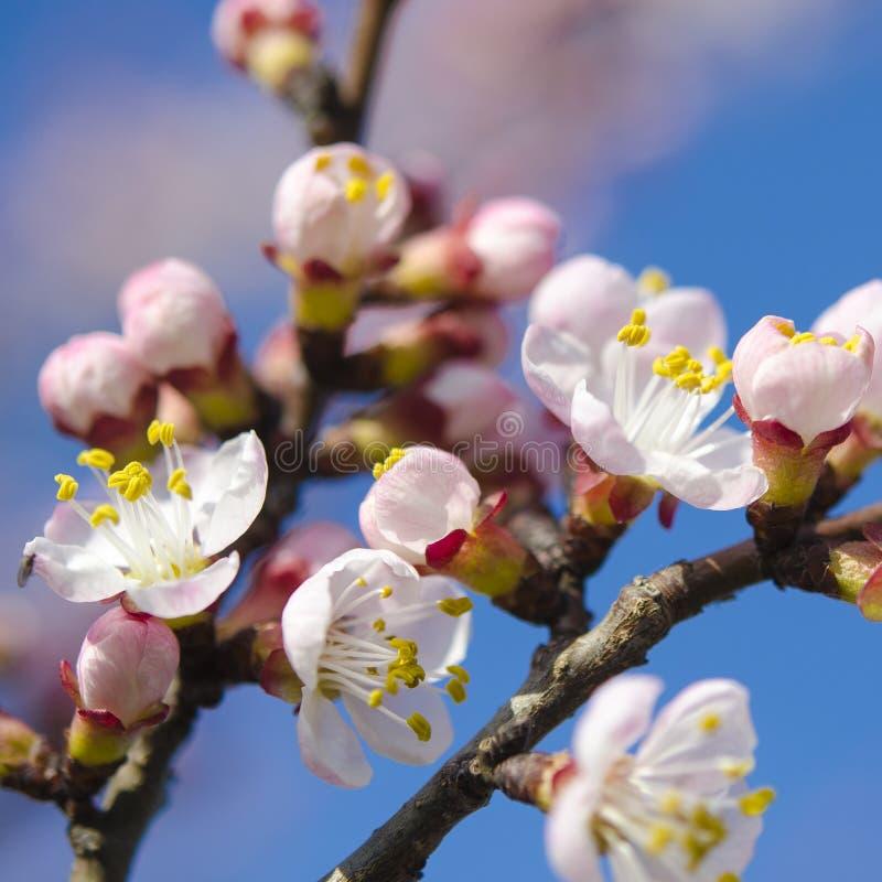 Flores cor-de-rosa delicadas de um abricó novo em um ramo contra um céu azul foto de stock