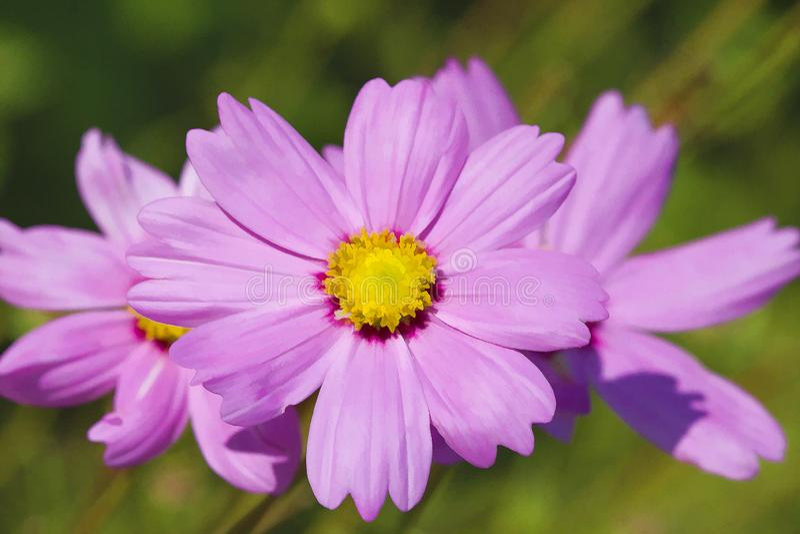 Flores cor-de-rosa Digital Pianted do cosmos da alfazema delicada fotos de stock