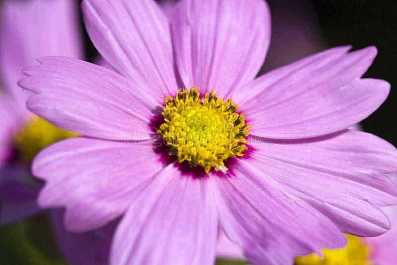 Flores cor-de-rosa Digital Pianted do cosmos da alfazema delicada imagens de stock