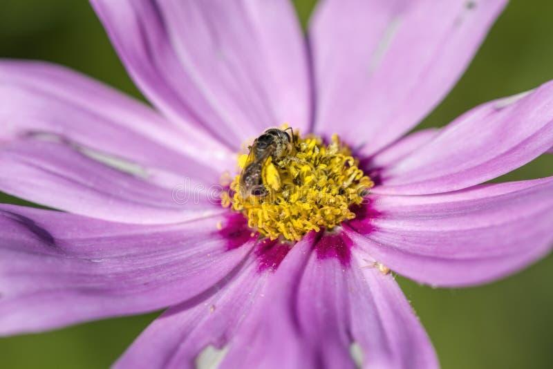 Flores cor-de-rosa do bipinnatus do cosmos da alfazema delicada fotos de stock royalty free