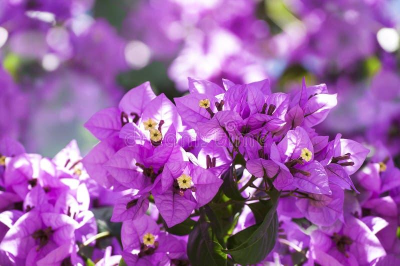 Flores cor-de-rosa do bougainvillea foto de stock royalty free