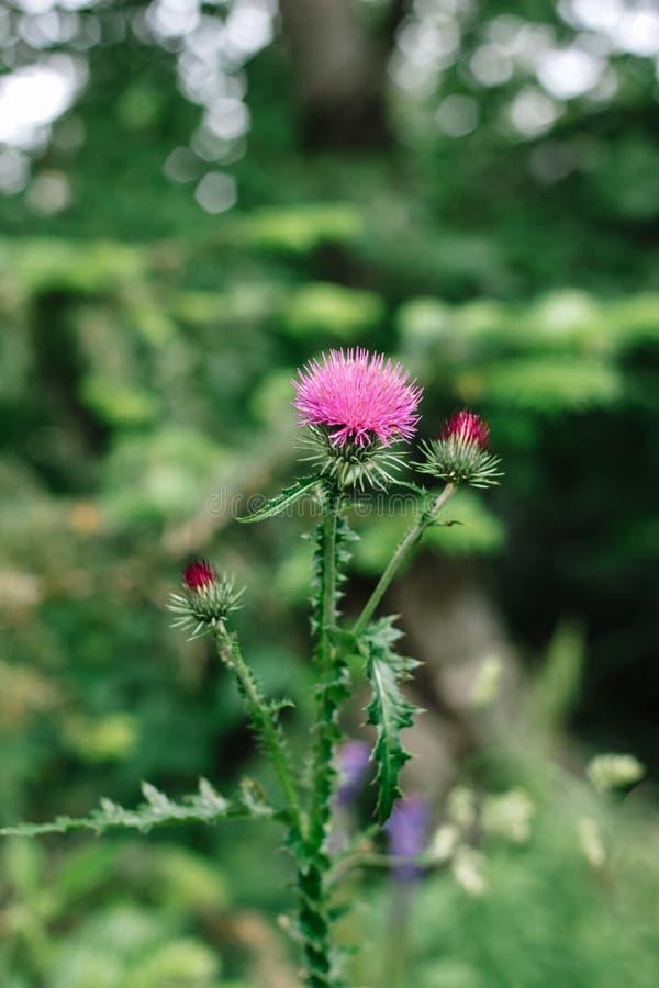 Flores cor-de-rosa do cardo de leite no rem?dio erval do marianum selvagem do Silybum do natur imagem de stock royalty free
