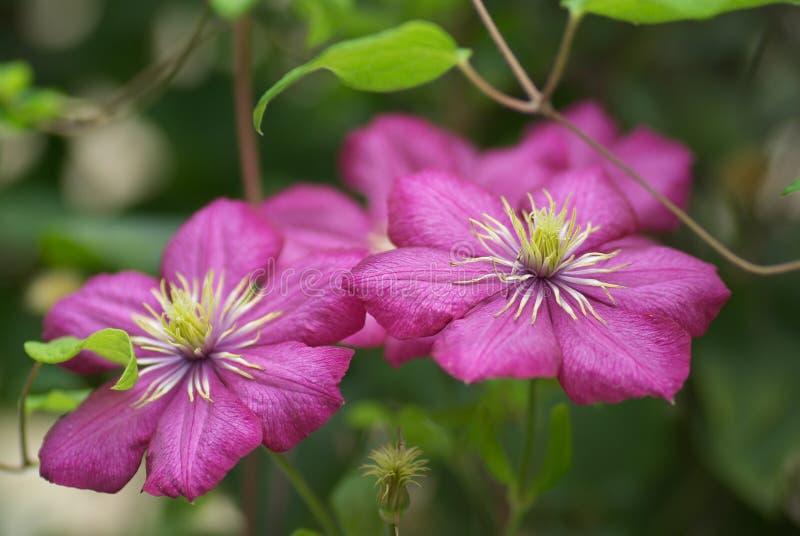 Flores cor-de-rosa do Clematis imagem de stock