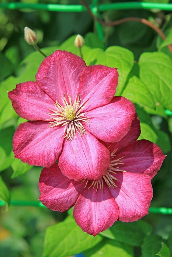 Flores cor-de-rosa do Clematis fotos de stock royalty free
