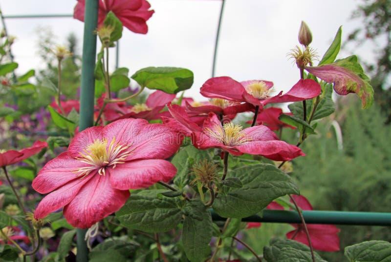 Flores cor-de-rosa do Clematis foto de stock royalty free