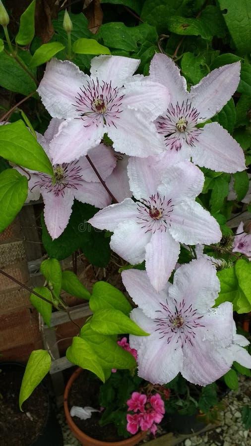 Flores cor-de-rosa do Clematis imagens de stock