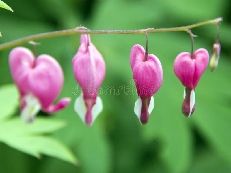 Flores cor-de-rosa do coração imagens de stock royalty free