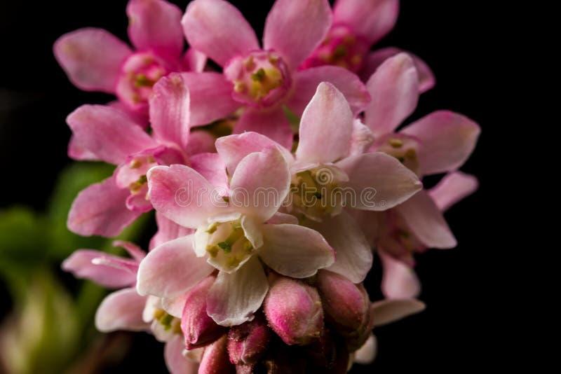 Flores cor-de-rosa do corinto que produzem bagas comestíveis fotografia de stock royalty free